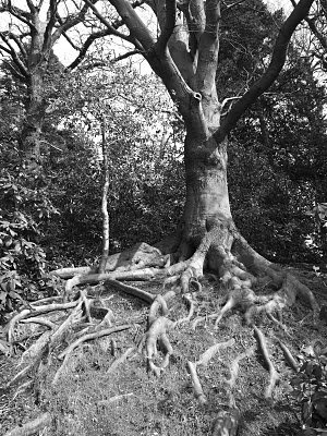 """Winding Tree Roots"""